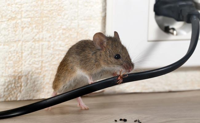 ajp groupe dératisation rats souris à plaisir 78 yvelines