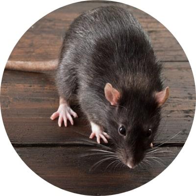 ajp groupe dératisation rats bruns noirs souris à plaisir et dans les yvelines 78