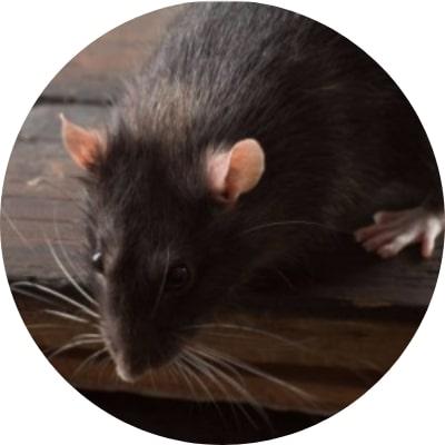 ajp groupe dératisation rats dans les réseaux d'égouts communaux afin de les assainir plaisir 78 yvelines
