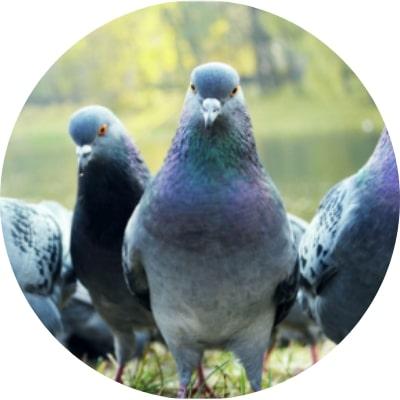 ajp groupe Dépigeonnage, régulation et capture de pigeons à plaisir et dans les yvelines