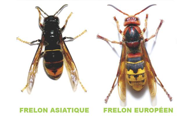 Destruction d'un nid de frelons : savoir reconnaître le frelon « asiatique » et le frelon commun dit « européen »