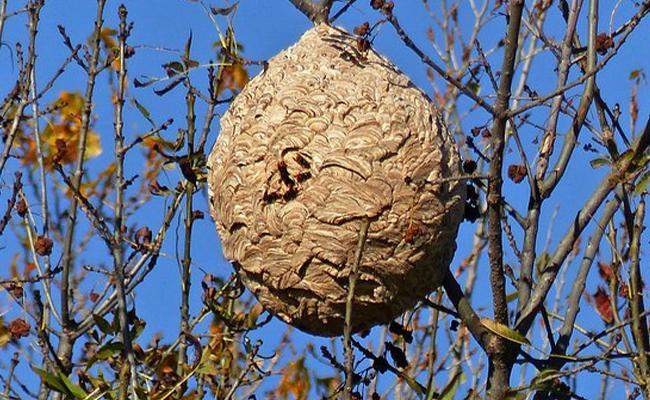 ajp-groupe-image-extermination-frelon-asiatique-nid-2