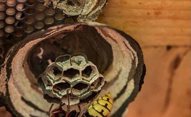 desinsectisation-ajp-groupe-image-extermination-frelon-asiatique-nid-3