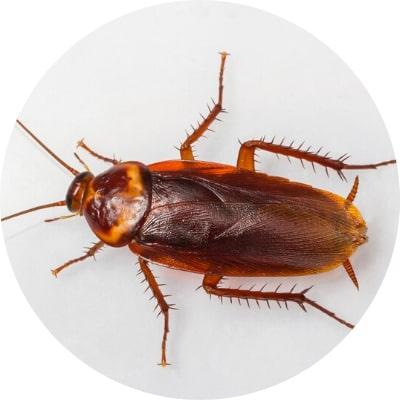 traitement cafards blattes desinsectisation plaisir 78 yvelines