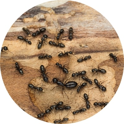 ajp groupe fourmis charpentieres desinsectisation à plaisir et dans les yvelines 78