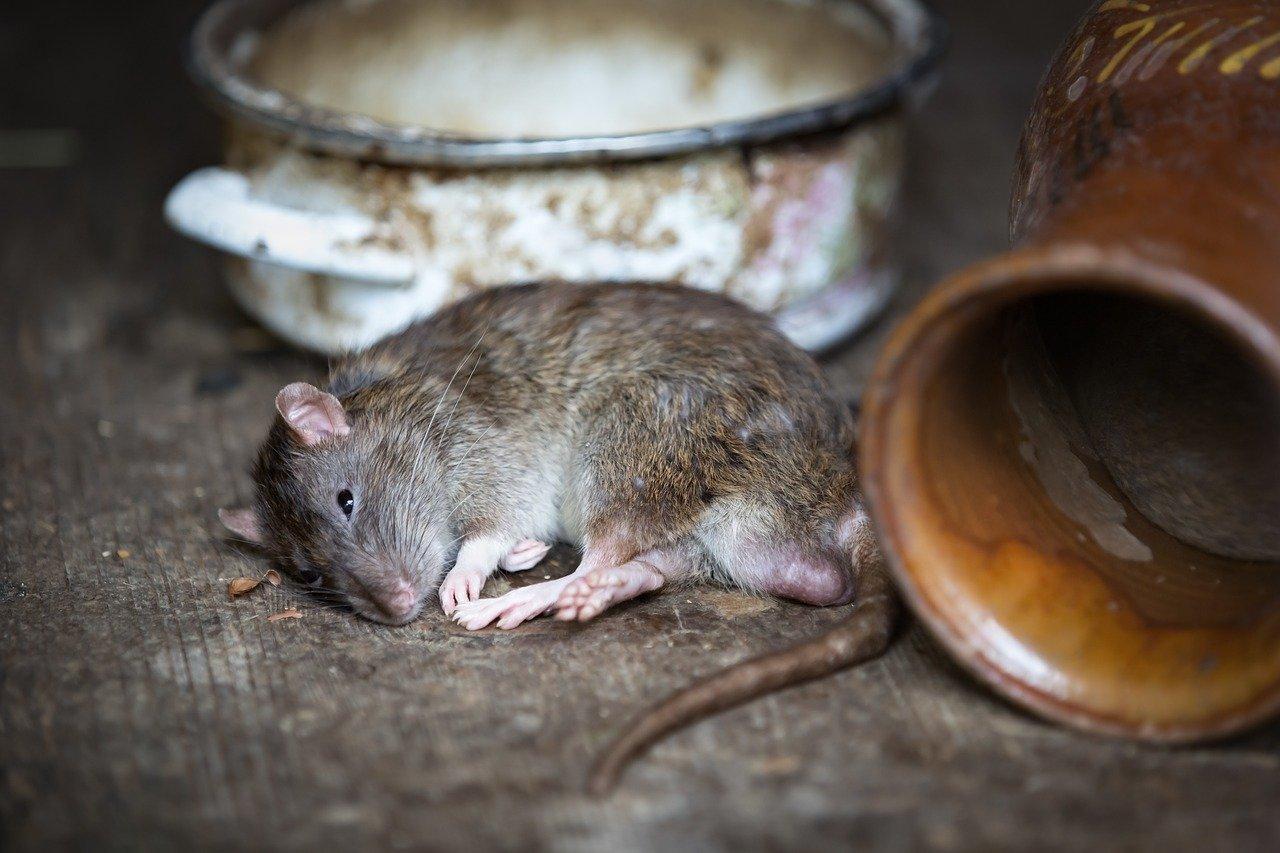infection rat deratisation desinfection plaisir 78 yvelines