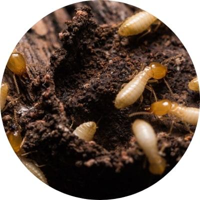 termite bois desinsectisation plaisir 78 yvelines