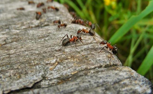 Pourquoi et comment éliminer les fourmis dans vos habitations ?