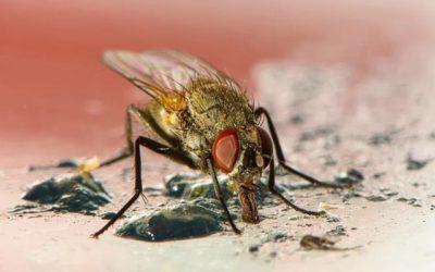 Désinsectisation : comment se débarrasser des mouches et moucherons ?
