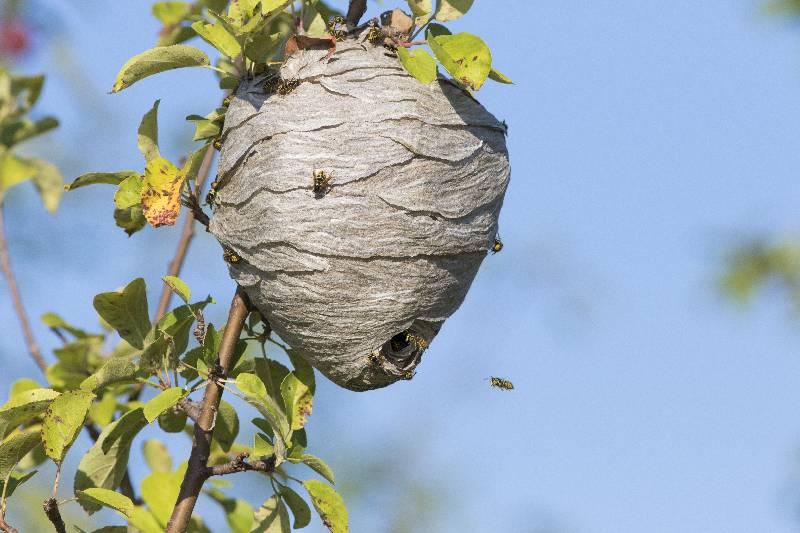 Destruction de nids de guêpes et de frelons dans les Yvelines