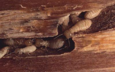 Extermination des insectes xylophages et champignons du bois